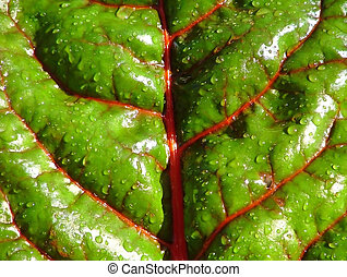 Swiss Chard - Close-up of Swiss Chard leaf