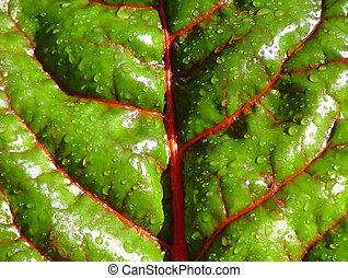 Swiss Chard - Close-up of Swiss Chard leaf