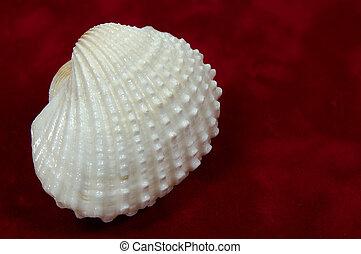 Seashell - Photo of a Seashell
