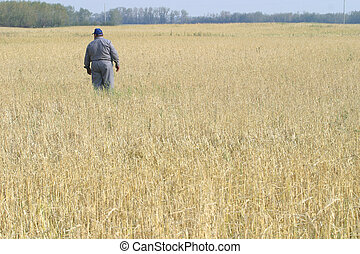 farmer in field - farmer checks his field of grain