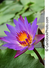 waterlily 5