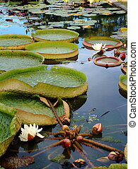 Lily Pads - Lily pads in a pond in Kyoto, Japan.