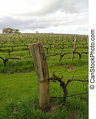 Vineyard in Margaret River region, Wester Australia