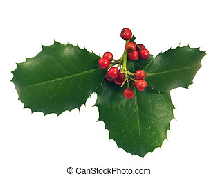 holly - A holly branch isolated