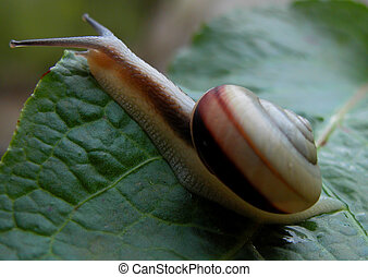 Snail - A snail caring his house on a leaf