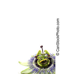 Passion background - Isolated passioin fruit flower against...