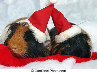 Guinea Pigs - Two Guinea Pigs in Santa hats