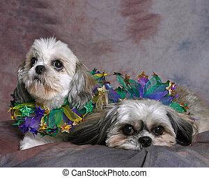 Two Shi Tzu\'s - Two Shi Tzu dogs