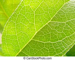 leaf - veins of leaf  soft focus