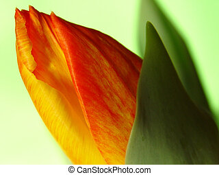 springs coming out - opening tulip on a green background