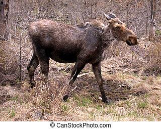 Moose in Algonquin Park, Ontario, Canada