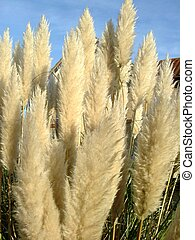 Feathery plant - Beautiful fluffy feathery plant
