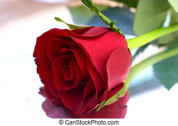 Red roses 7 - Single red rose with reflexion