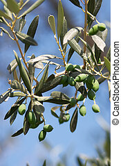 Olive branch - Olives ripening on a tree, Crete, Greece