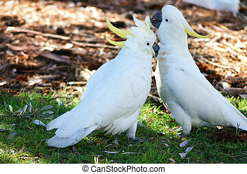 Canoodling cockatoos in the wild.