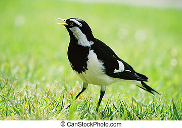 Magpie Lark - Magpie-lark in grass film This is a...
