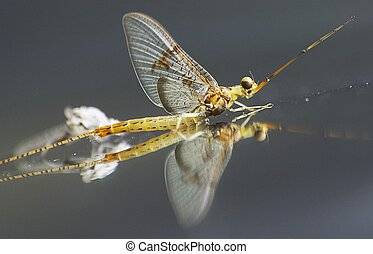 Floating - This is a mayfly, an important part to the...