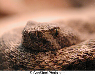 Rattlesnake - Close-up of a rattlesnake