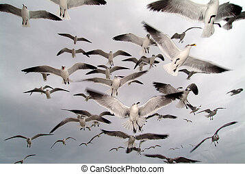 Seagulls - Flock of seagulls