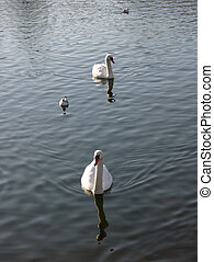 Swans and gulls 1