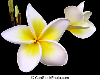 Frangipani Flower - Tropical frangipani flower on black...