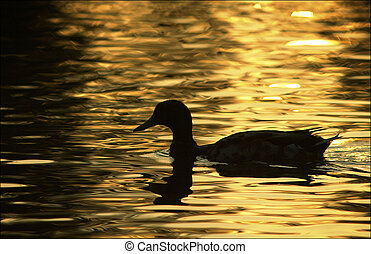 Duck Silhouette at sunrise