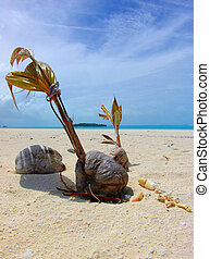 Growing Coconut on a sandbar