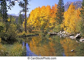 Sierra Fall Colors - Aspen trees in the Sierra Nevada...