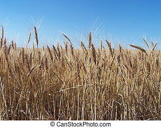 Nearing Harvest - Hi-Res digital shot of a wheatfield just...