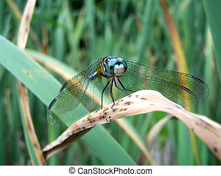 Blue Dragonfly on marsh plants