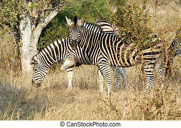 Zebras - Watchful zebras in Ngala game preserve, South...