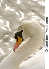 Mute Swan (Cygnus olor) - Mute Swan profile with graceful...