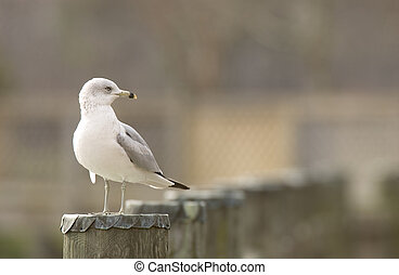 Ring-billed Gull (Larus delawarensis) - Ring-billed Gull on...