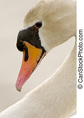 Mute Swan Cygnus olor - Mute Swan profile with graceful neck...