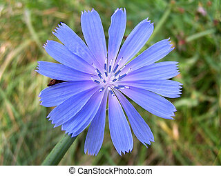 Chicory - Closeup of Chicory bloom