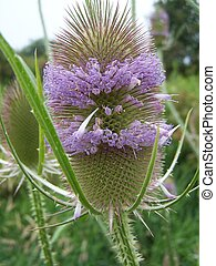 Common Teasel - Closeup of prickly Teasel bract