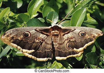 imperador, borboleta