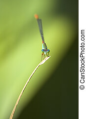 Damselfly - Close-up of a damselfly