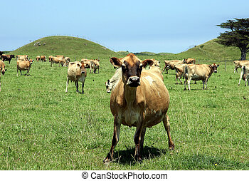 Cows - dairy cattle in coastal hill country - New Zealand