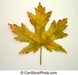 Leaf - Isolated Leaf