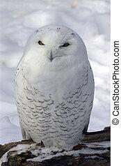 多雪, 貓頭鷹