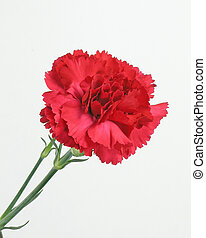 Red Carnation,isolated