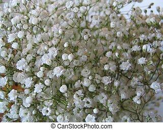 Babies Breath macro - babies breath macro, flowers
