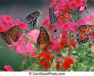 Gulf Fritillary - butterflies around red blossoms