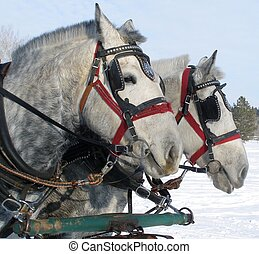 Working Horses - Pair of grey horses attached to a sleigh in...