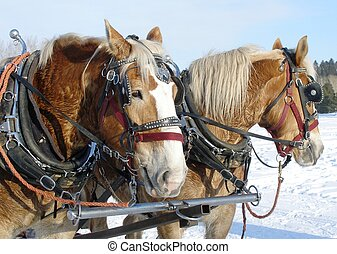 Brown Horses - Horses attached to a sleigh for a hay ride in...