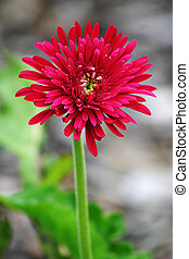 Red Gerbera with shallow DOF