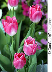 Pink Tulips - Tulip heads