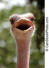 Smiling Ostrich - A potrait of happy smiling ostrich