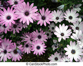 Burst of Color - colorful daisys for background
